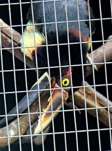 Collared Aracari -- Toucan Rescue Ranch