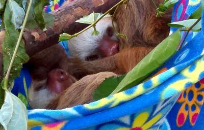 Baby Sloths -- Toucan Rescue Ranch