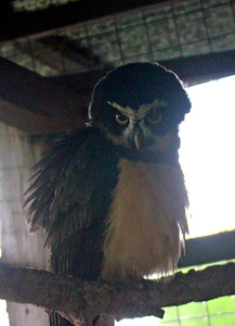 Spectacled Owl -- Toucan Rescue Ranch