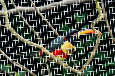Fiery-billed Aracari -- Toucan Rescue Ranch