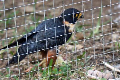 Bat Falcon -- Toucan Rescue Ranch