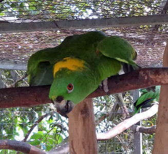 Yellow-naped Parrot -- Toucan Rescue Ranch