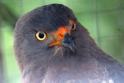 Roadside Hawk Adult -- Toucan Rescue Ranch