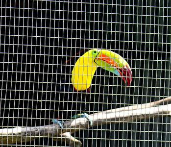 Keel-billed Toucan -- Toucan Rescue Ranch