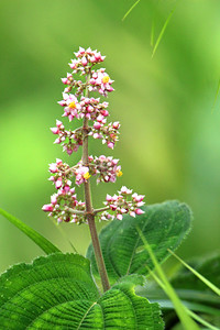 Phytolacca rivinoides
