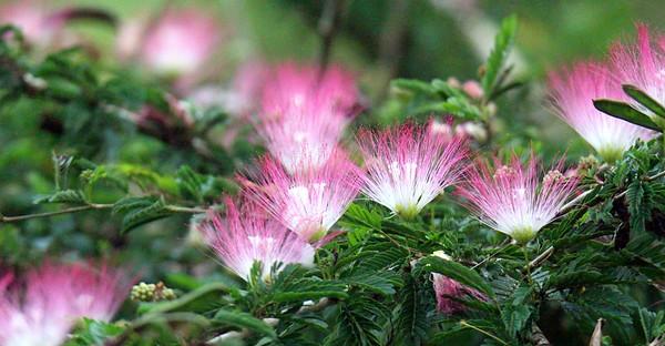 Albizia julibrissin, Persian Silk Tree or Mimosa