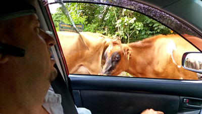 Sharing Road with Livestock