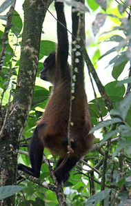 Central American Spider Monkey Mother