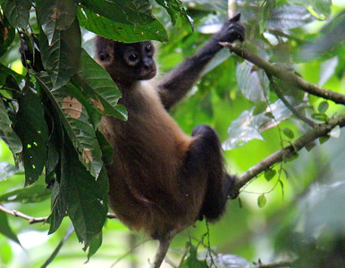 Central American Spider Monkey Baby