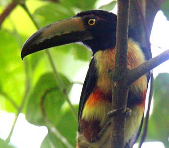 Collared Aracari at My Tree House