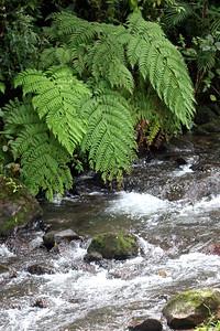 Fern Over Stream