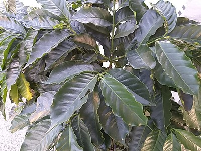 Starbuck's Alsacia Coffee Farm Tour, Costa Rica