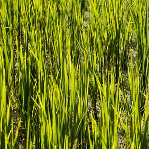 Kamu Lodge and rice fields