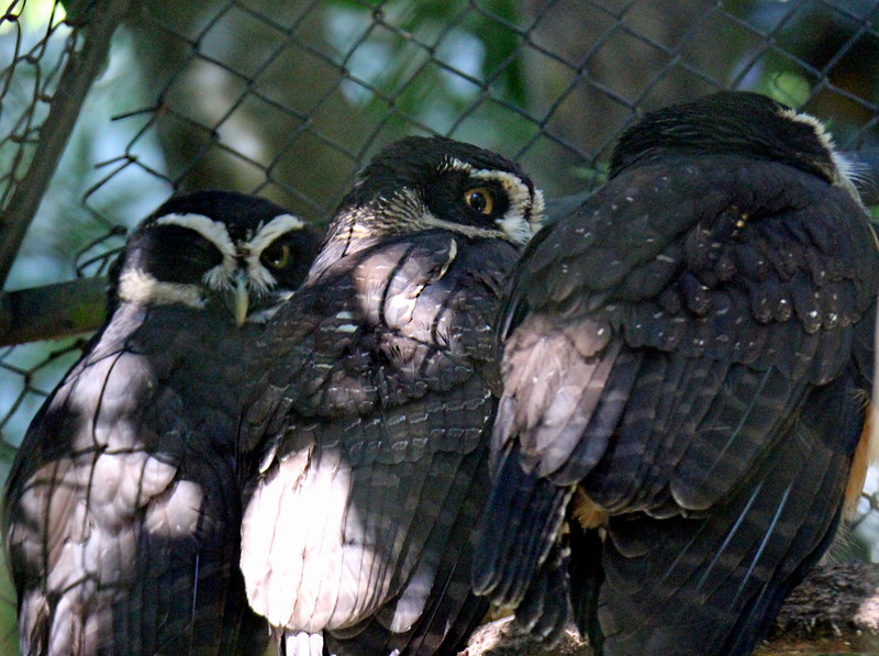 Spectacled Owls