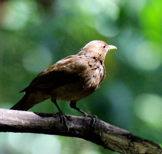 Clay Colored Thrush