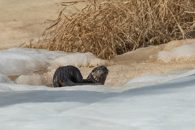 Otter in Riding Mountain National Park