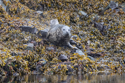 Spotted Sea Lion