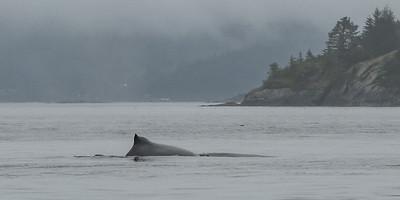 Humpback Whale - Whalewatching Adventure
