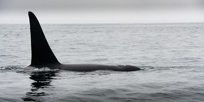 Orca (Killer Whale) - Whalewatching Adventure