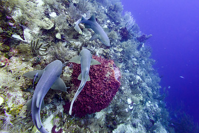Diving with Nurse Sharks