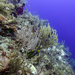 Scuba Diving -  Silk Caye