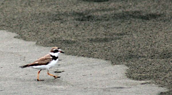 Semipalmated Plover