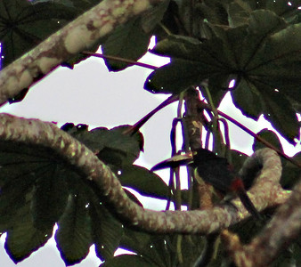 Yellow-throated or Black-mandibled Toucan