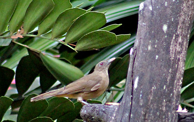 Clay-colored Thrush or Yiguirro, National Bird of Costa Rica