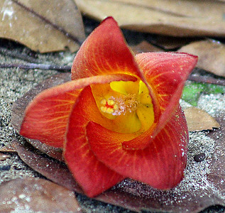 Beach Hibiscus, Sea Hibiscus, or Cottontree Flower