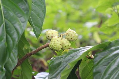 Cas Guava or Costa Rica Guava