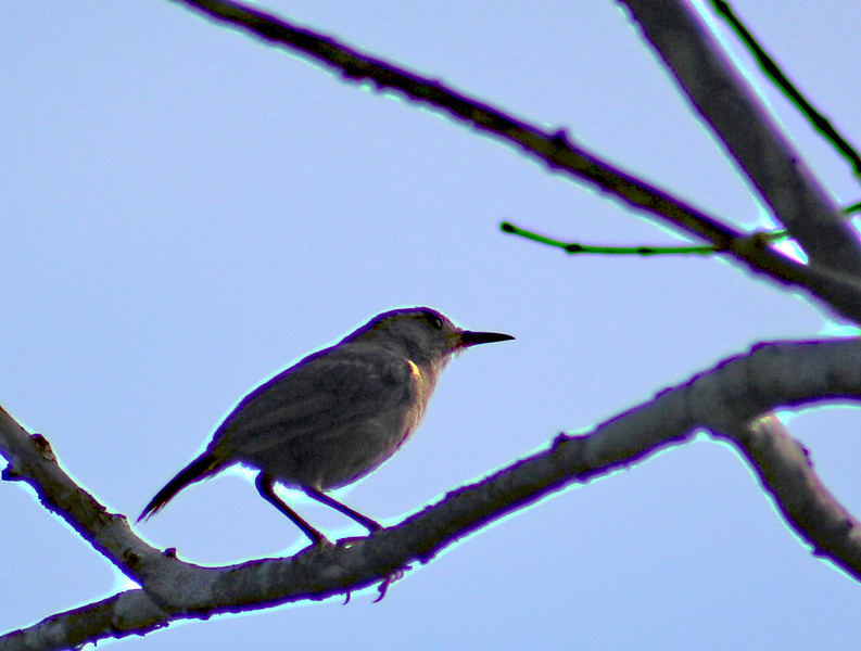 Unknown  (House Sparrow?)