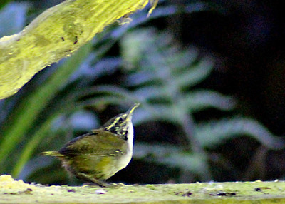 White-breasted Wood Wren