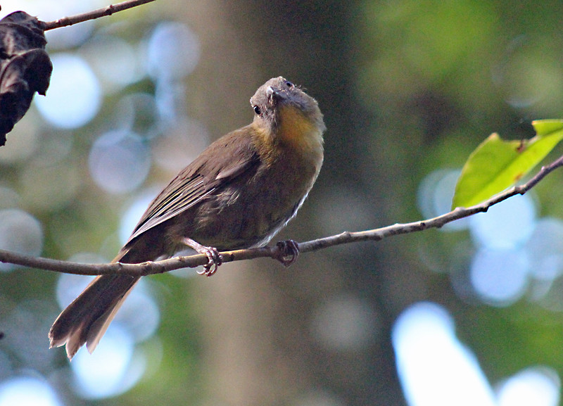 Red-throated Ant-tanager  female