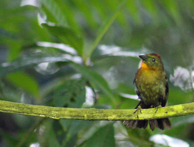 Red-throated Ant Tanager female