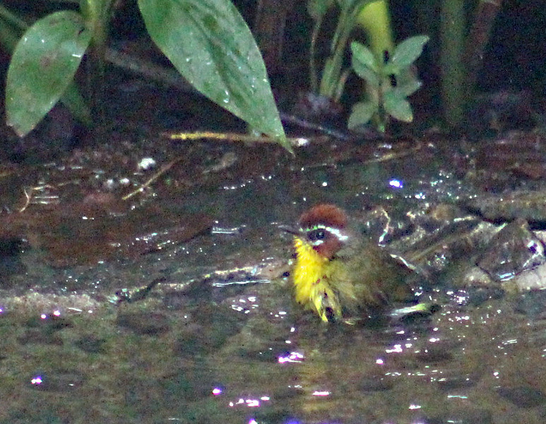 Rufous-capped Warbler juvenile