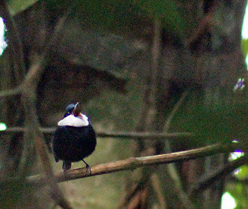 White-ruffed Manakin   (singing)