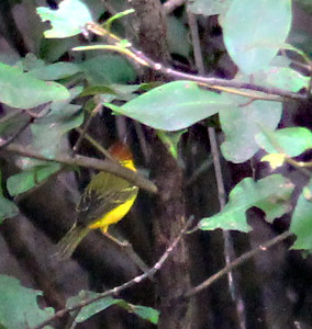 Yellow Warbler  (resident adult male)