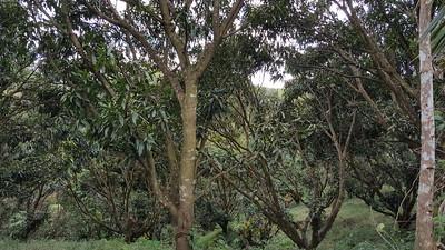 Mango tree grove