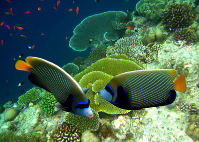 EMPEROR ANGELFISH - MALDIVES