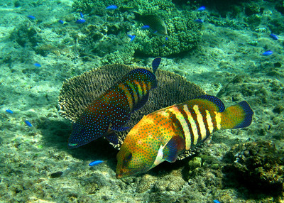PEACOCK ROCK COD - MALDIVES