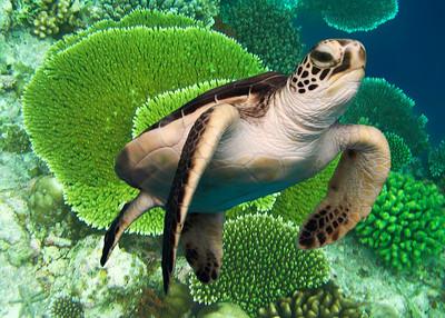 GREEN TURTLE - BALI