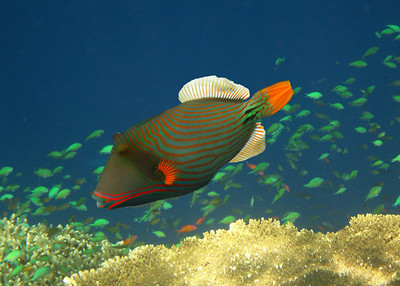 ORANGE STRIPED TRIGGERFISH - MALDIVES