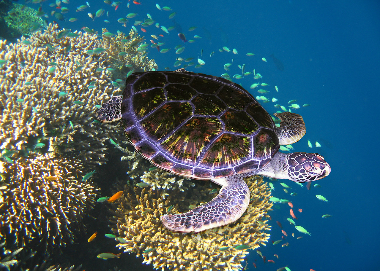 GREEN TURTLE - FIJI