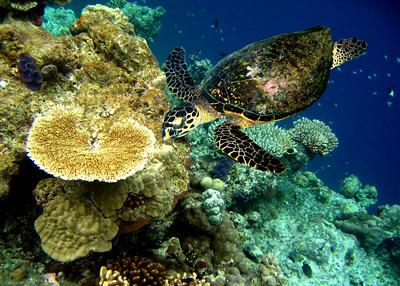 HAWKSBILL TURTLE - MALDIVES