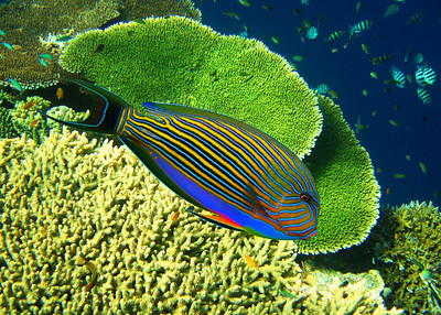 BLUE LINED SURGEONFISH - MALDIVES