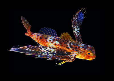 GURNARD - HAWAIIAN ISLANDS