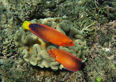 PSYCHEDELIC WRASSE - HAWAIIAN ISLANDS