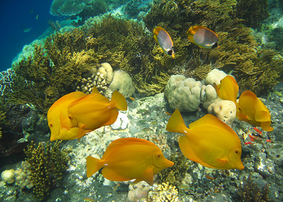 YELLOW TANGS - HAWAIIAN ISLANDS