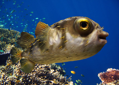 PORCUPINE FISH - MALDIVES