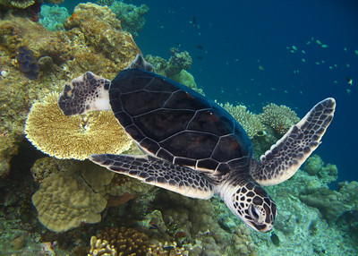 GREEN TURTLE - INDONESIA